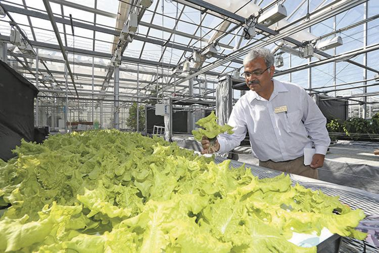 Krishna Nemali examines hydroponically grown lettuce in the horticulture and landscape architecture greenhouse at Purdue University. Provided photo/Purdue University