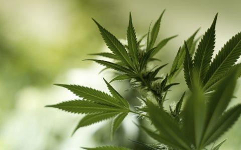 how-to-train-cannabis-plant-header-480x300.jpg