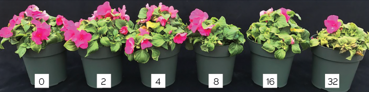 Fig. 1. Sensitivity of Petunia x hybrida to free chlorine in irrigation water. Plants were irrigated with 0, 2 and 4 ppm free chlorine with every irrigation. Chlorosis was observed at 4 ppm or greater.Photos courtesy of Rosa E. Raudales, Cora McGehee and Juan Cabrera