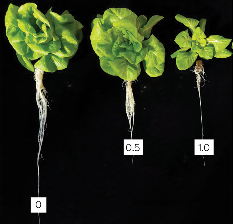 Fig. 2. Sensitivity of lettuce to free chlorine in irrigation water. Plants were irrigated with 0, 0.5 and 1 ppm free chlorine with every irrigation.Photo courtesy of Rosa E. Raudales, Cora McGehee and Juan Cabrera