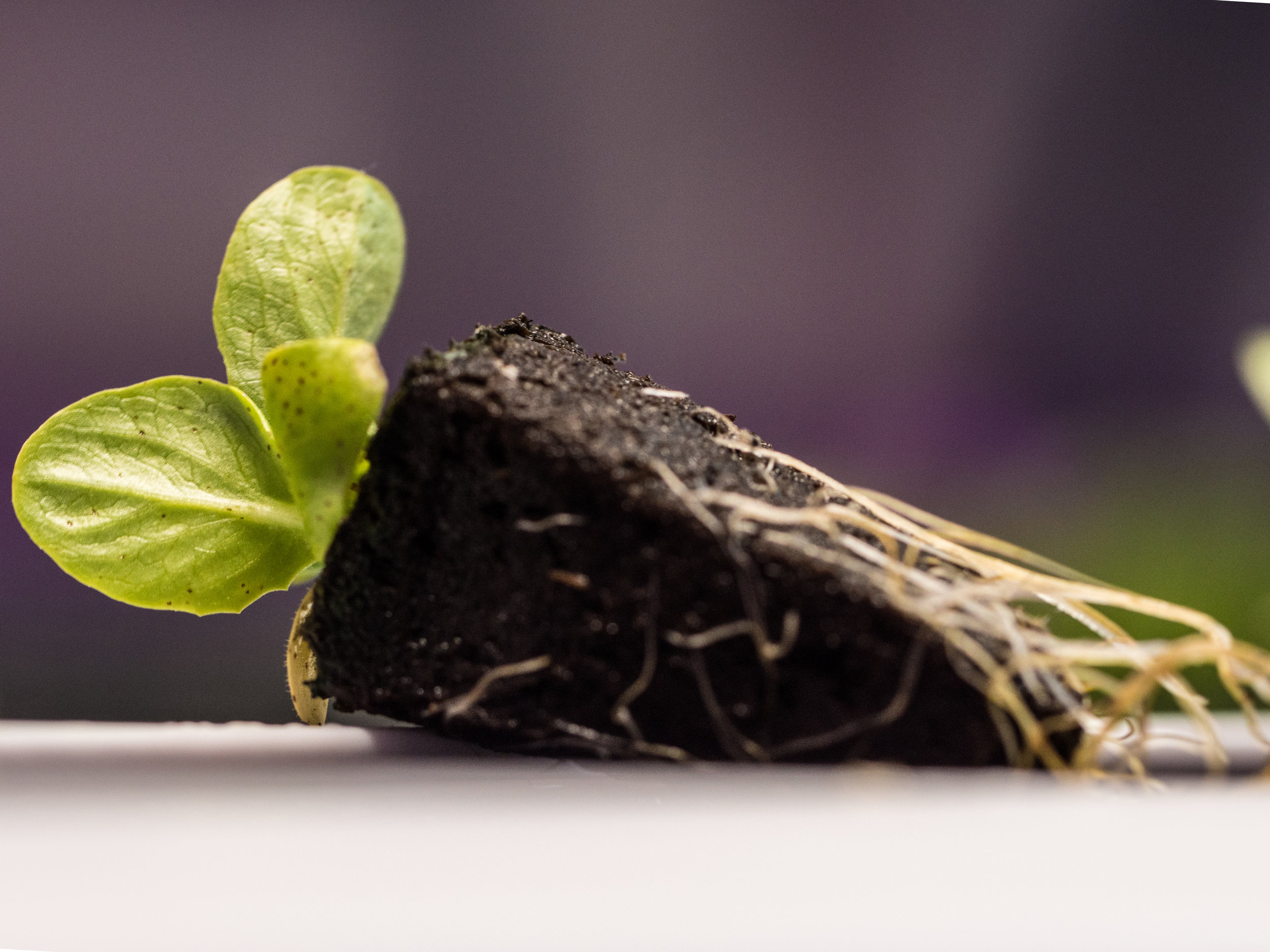 LGM_seedling_with_roots.jpg