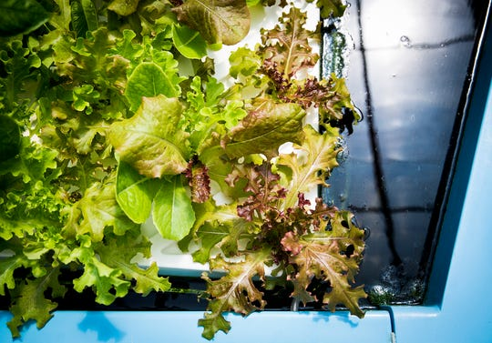 A Daleville-based aquaponic greenhouse grows a variety of vegetables year-round.  (Photo: Jordan Kartholl/The Star Press)