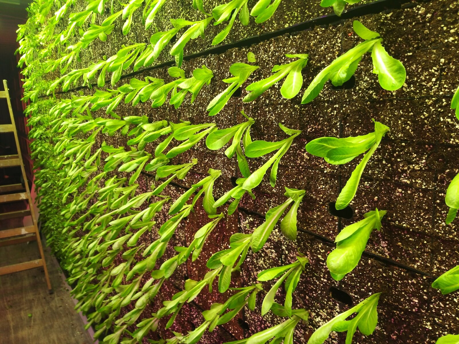 A vertical wall growing edible greens. Photo courtesy of Vertical Field
