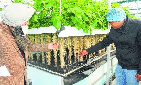 Forskere viser en potetras på Potato Technology Center i landsbyen Shamgarh i Karnal-distriktet. Sayeed Ahmed
