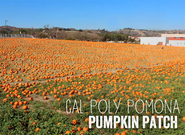 cal-poly-pomona-college-pumpkin-patch.jpg