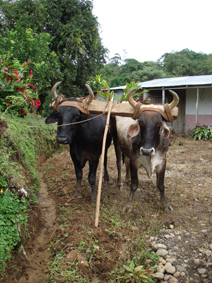 The saplings are moved to the planting site by ox cart.