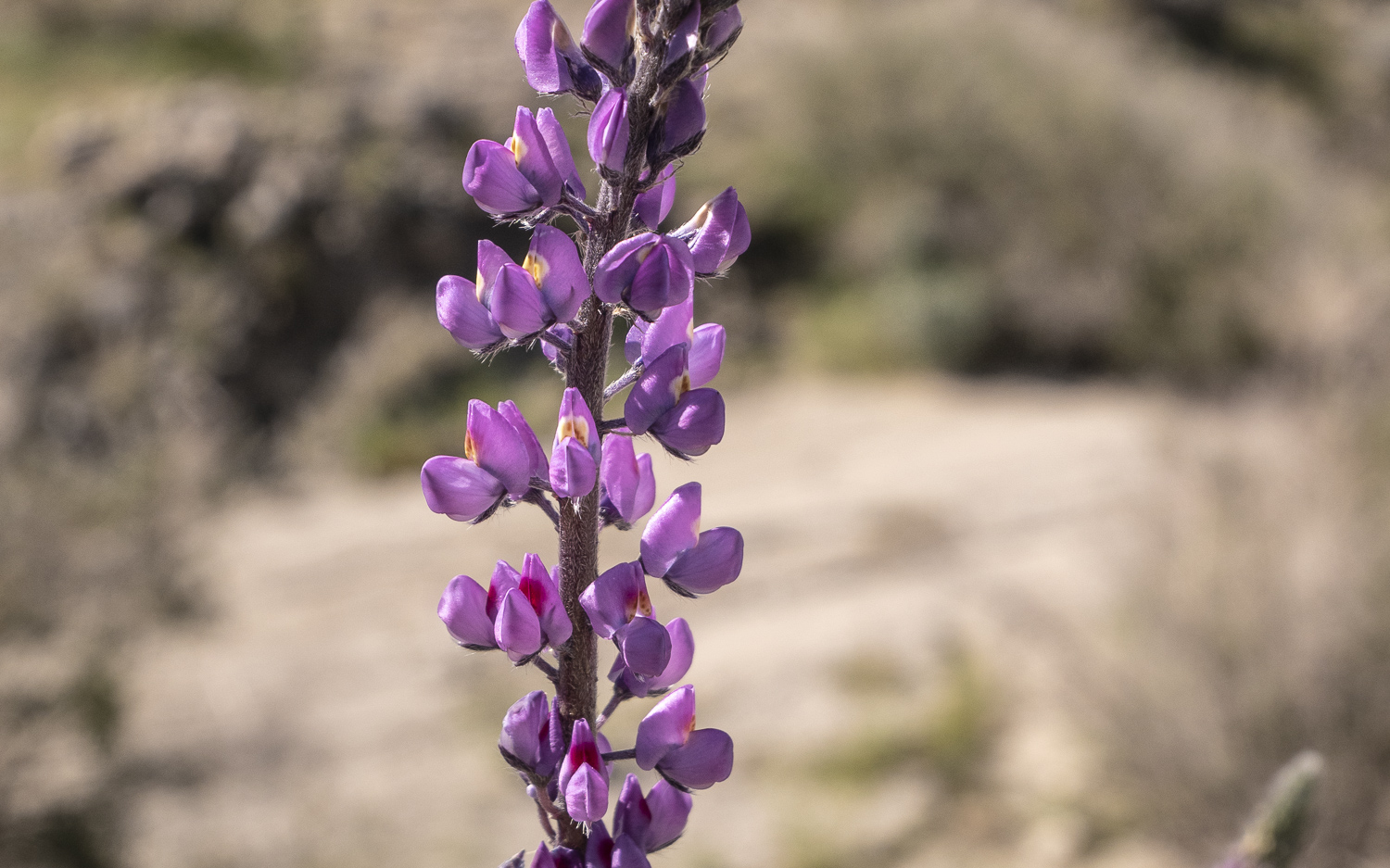 "Each flower stalk, or ""inflorescence"", of the Arizona lupine ( Lupinus arizonicus ) contains dozens of individual flowers, and a single stalk can range from buds at the top to fully developed seeds at the bottom. Flowers have a ""banner"" that turns from white to red as they age from top to bottom. This is a signal to bees and other pollinators that they have already been fertilized and are no longer producing nectar."