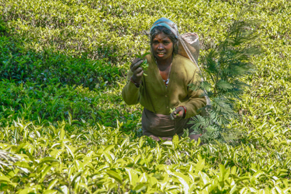 A woman harvests some of Sri Lanka's famous tea leaves. The work is labor intensive and pays a punishingly low wage.