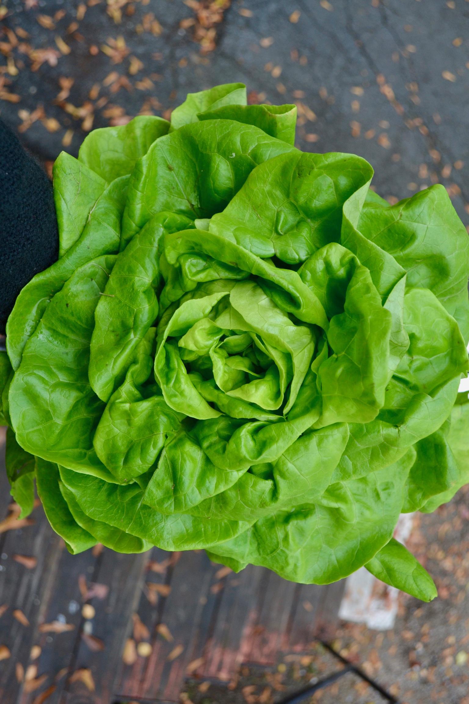 Butterhead Lettuce / Stone Hollow Farmstead CSA