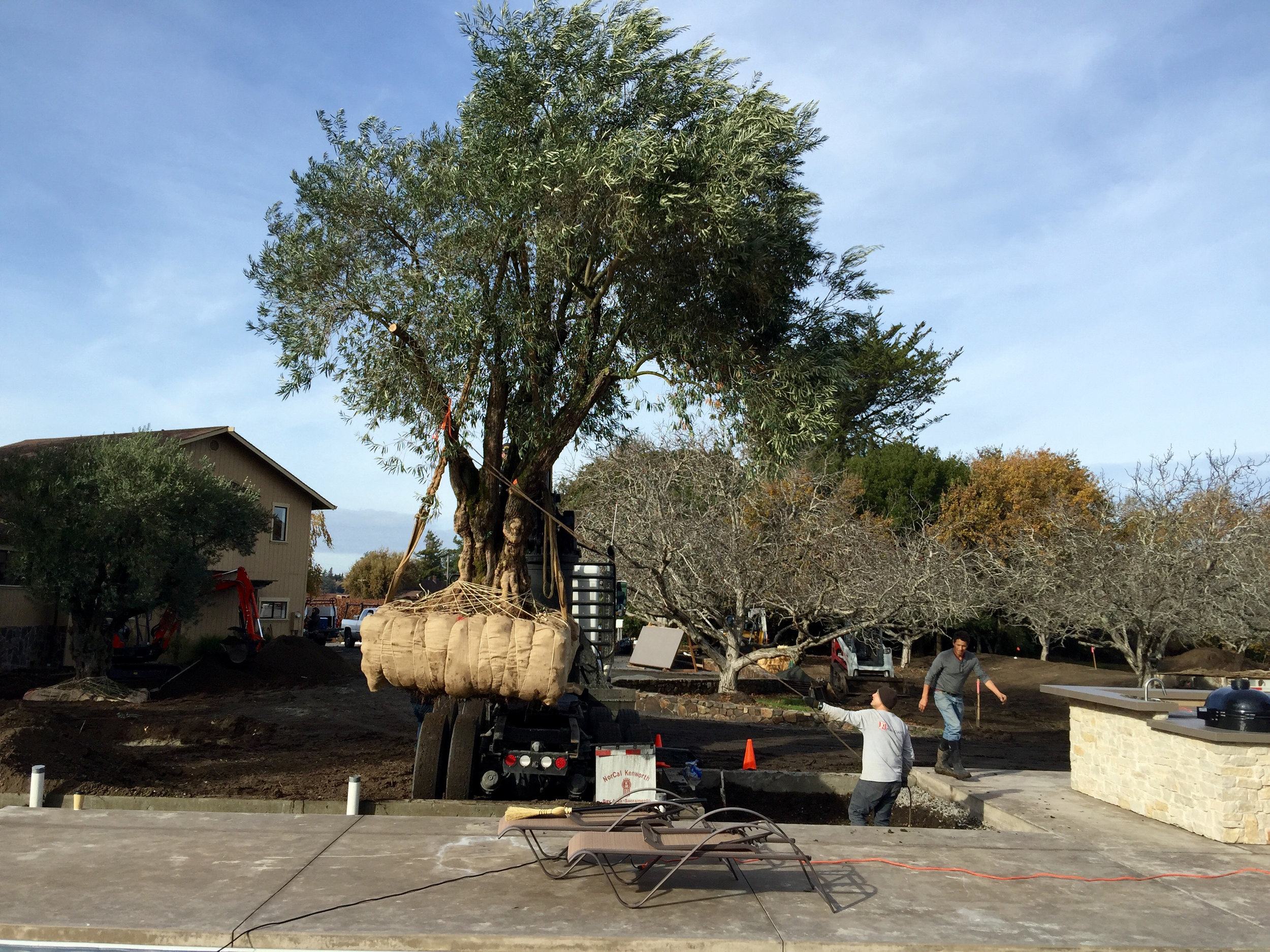 installation of 165 year old olive tree