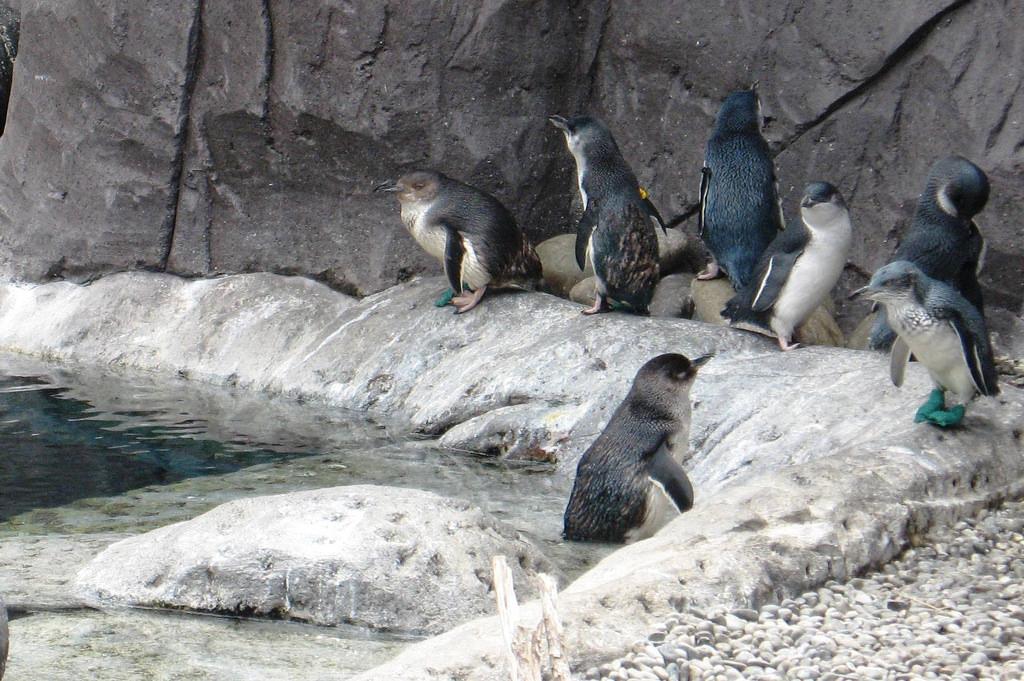 南极中心居住的小蓝企鹅 JSilver/CC BY 2.0/https://www.flickr.com/photos/33495997@N00/402677821/in/photolist