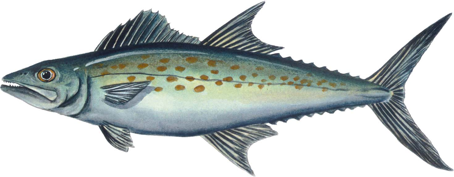 Omega - 3 - Mackerel is a small, fatty, cold-water fish that boasts some of the highest levels of omega-3 Fatty Acids. It is also considered a sustainable fish and has relatively low toxicity due to its small size.
