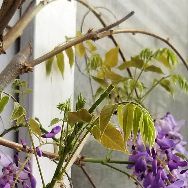 Wisteria - Beginning Anew