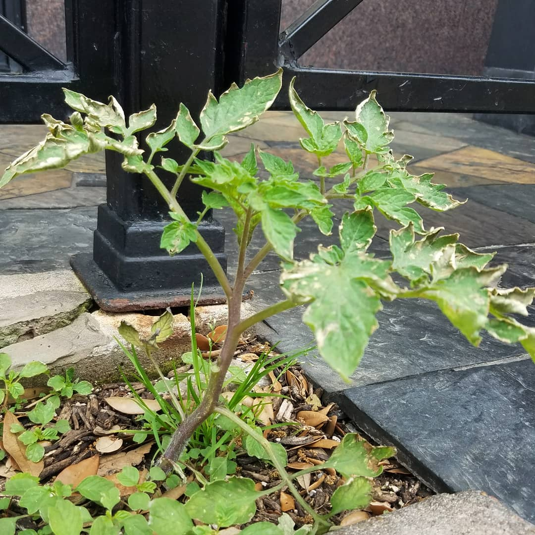Tomato plant, what are you doing here?