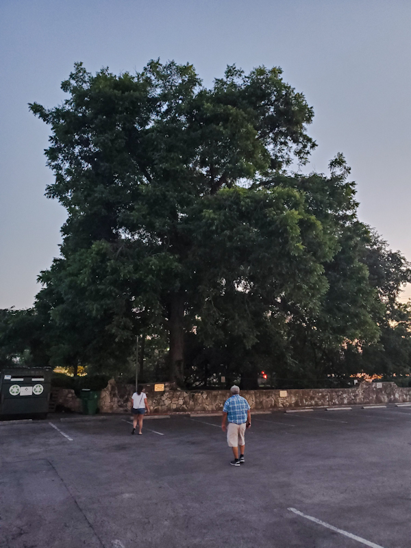 Treaty Oak, Austin Texas