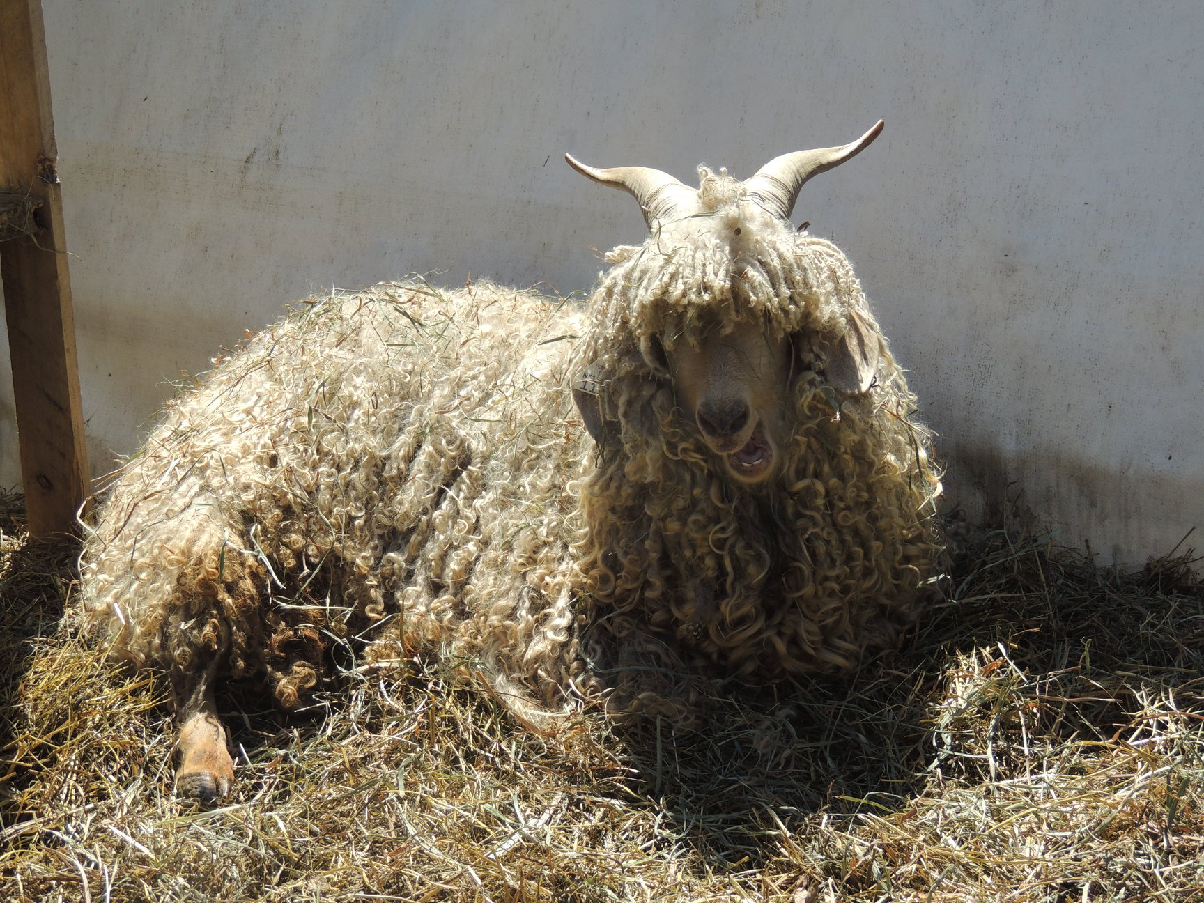 "Say ""Hello"" to Curly, the wooly goat."