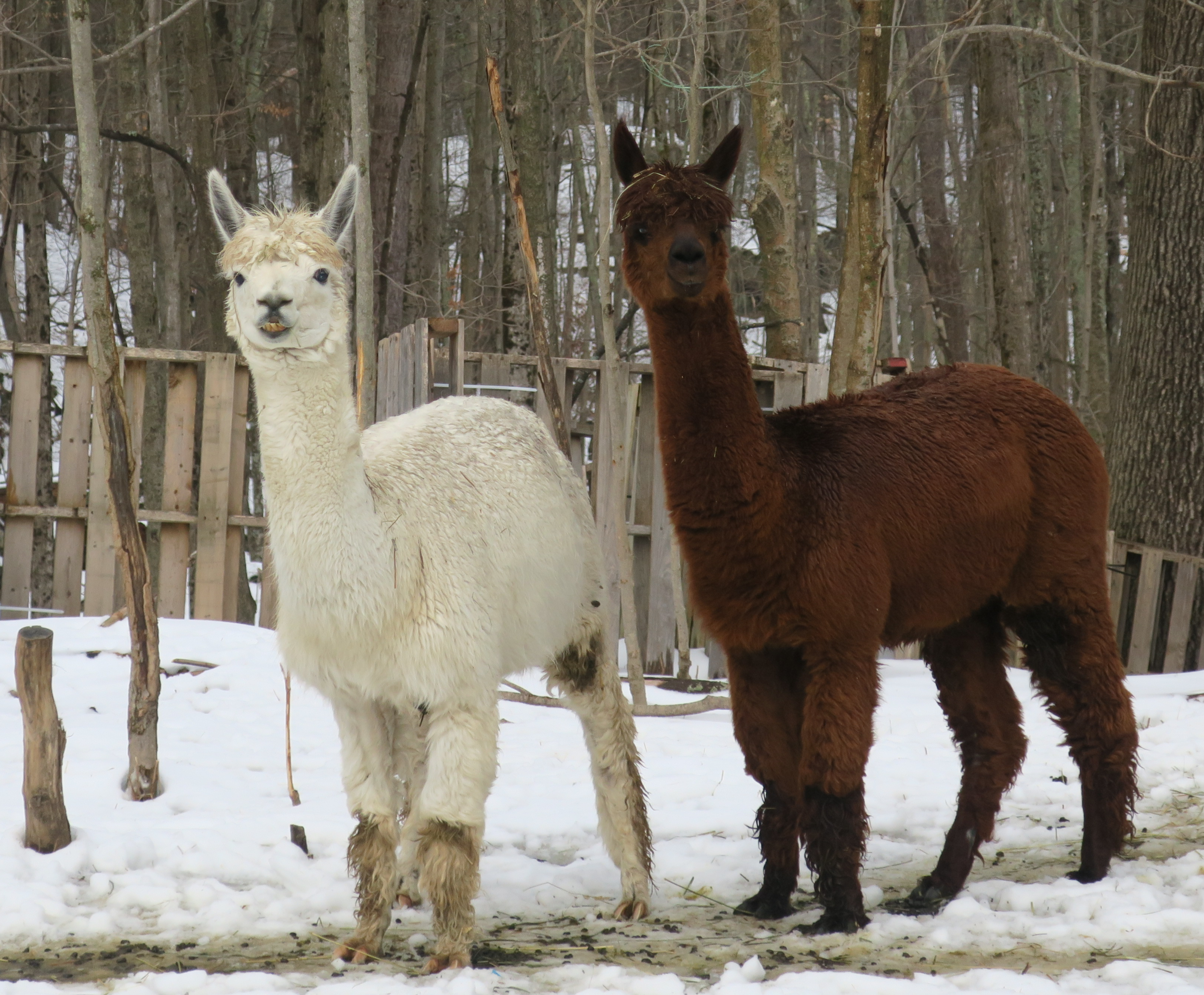 The alpaca brothers, Mark and Roger