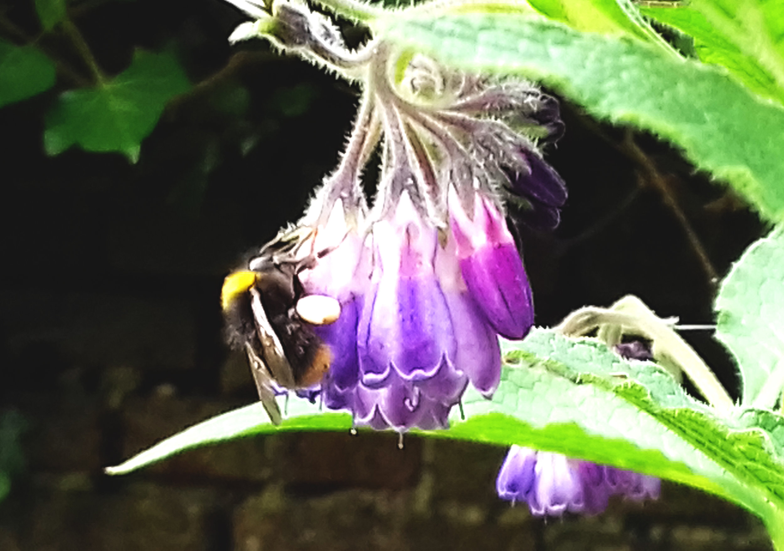 Bumble Bee on Comfrey Flower