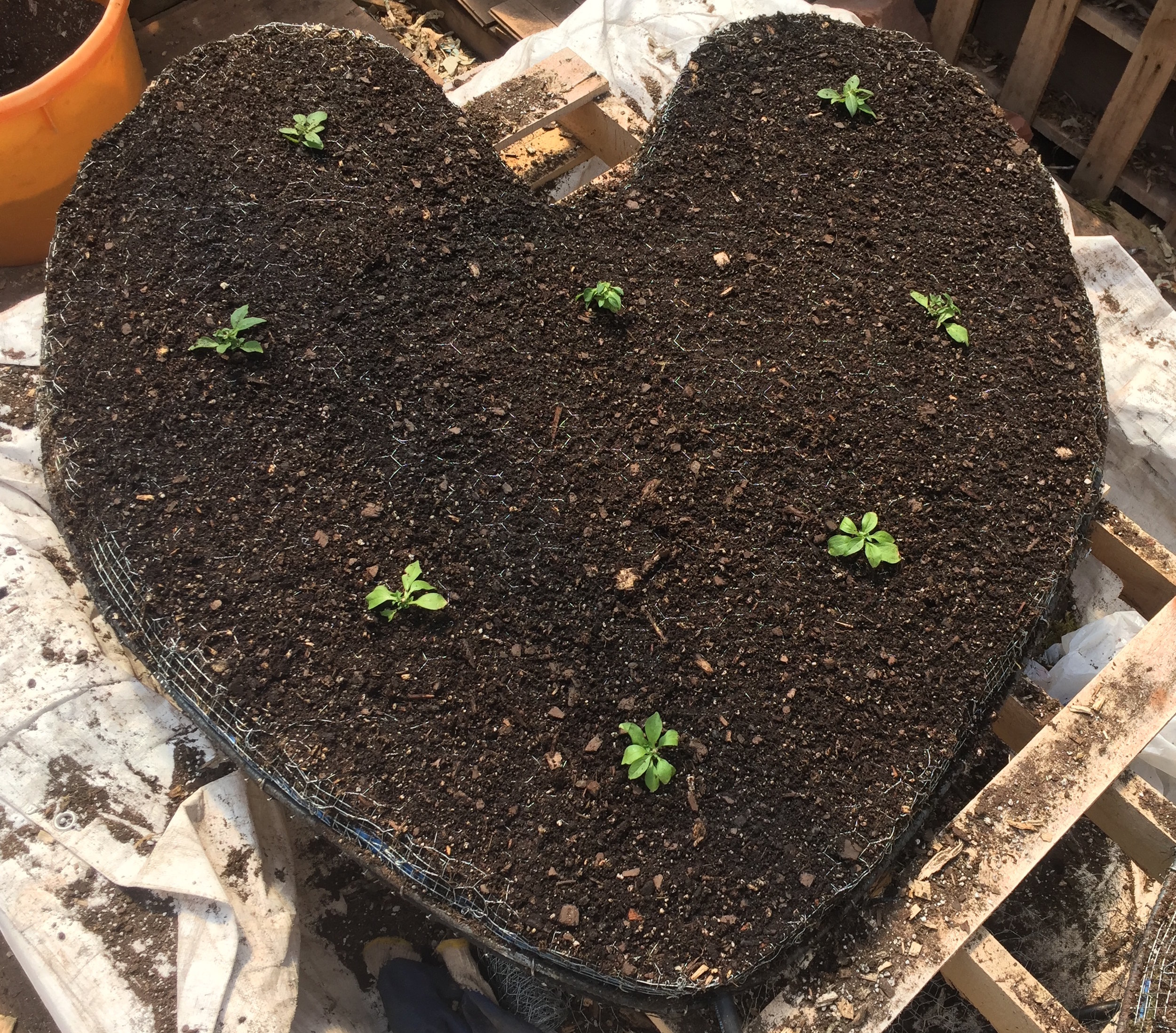 The Petunia plugs are planted