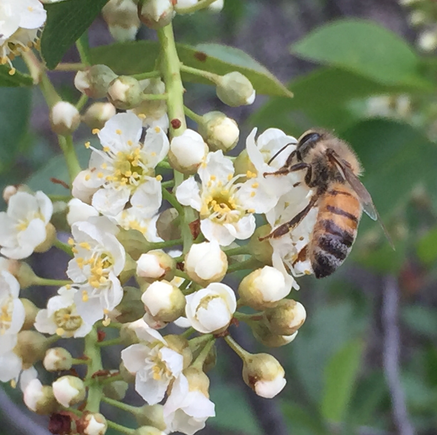 Honey bee on chokeberry flowers