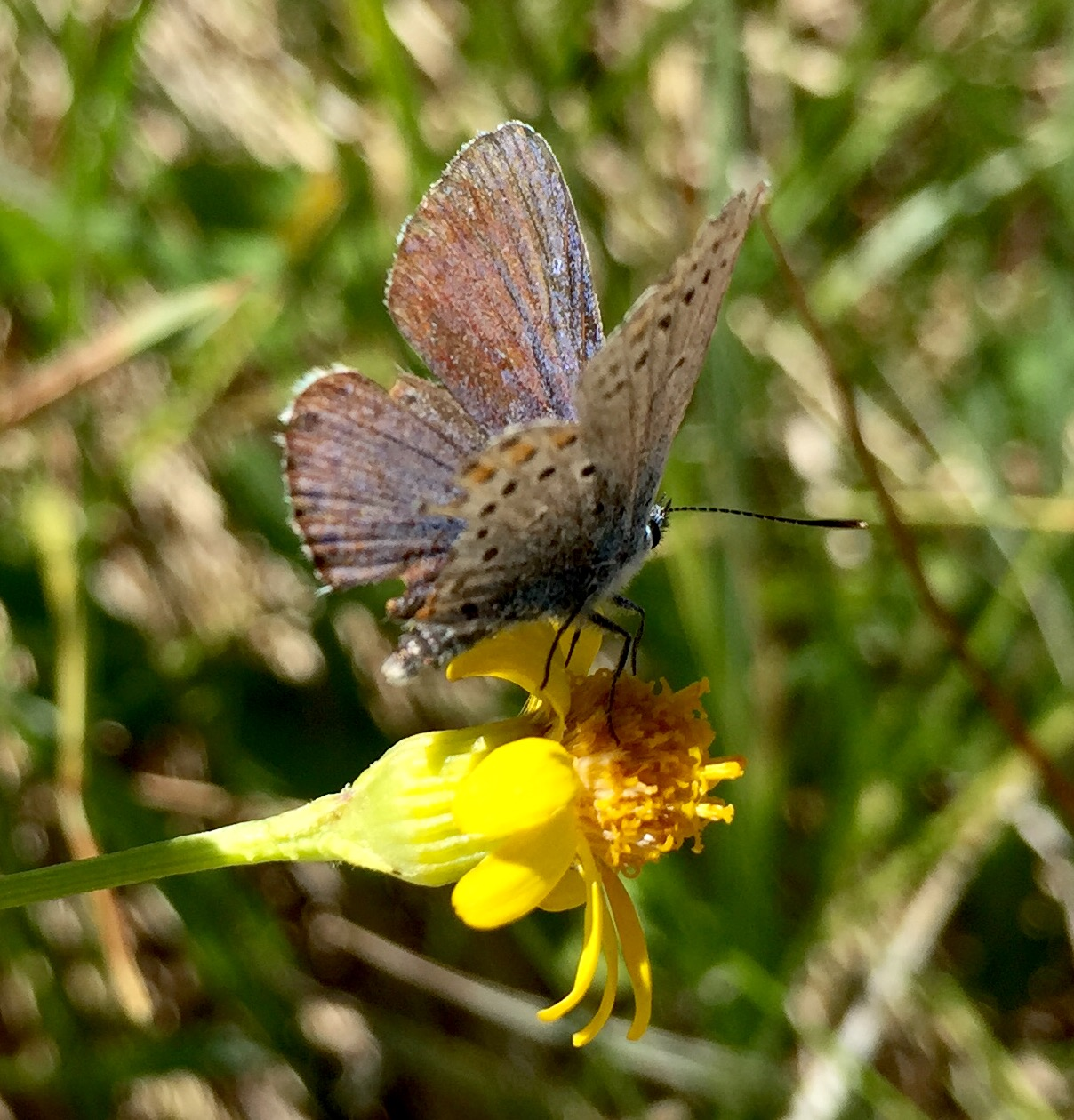 stunning western tailed blue butterfly