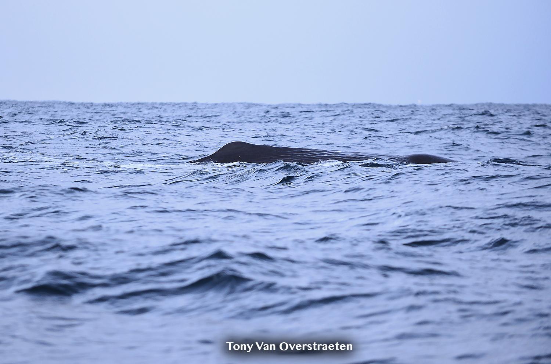 sperm whale 2.jpg