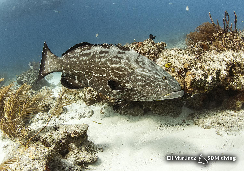 grouper.jpg