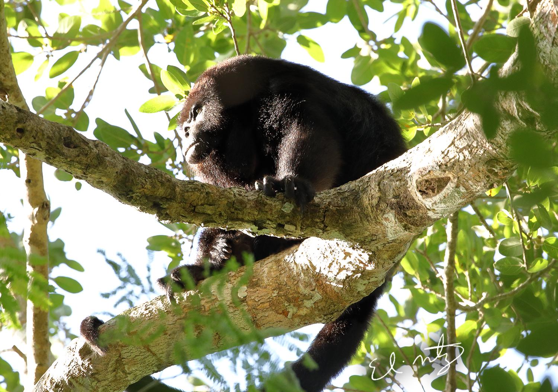 howler monkey 6.jpg