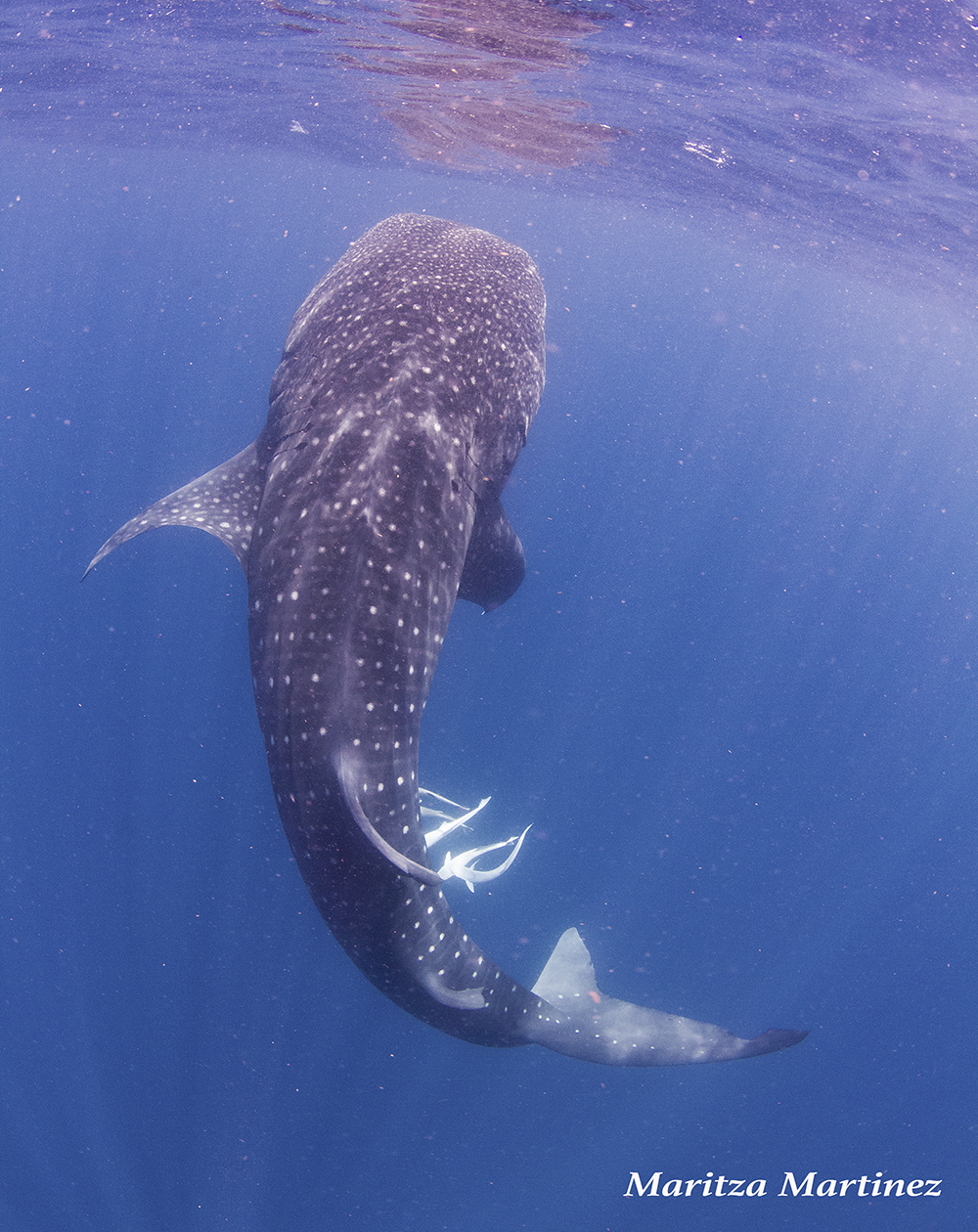 whale shark mari 4.jpg