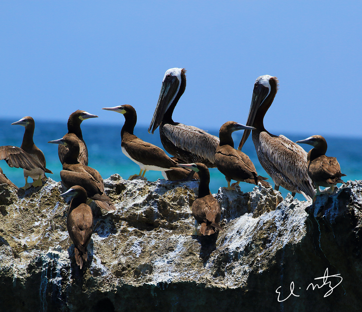 Brown Boobies and Brown Pelicans