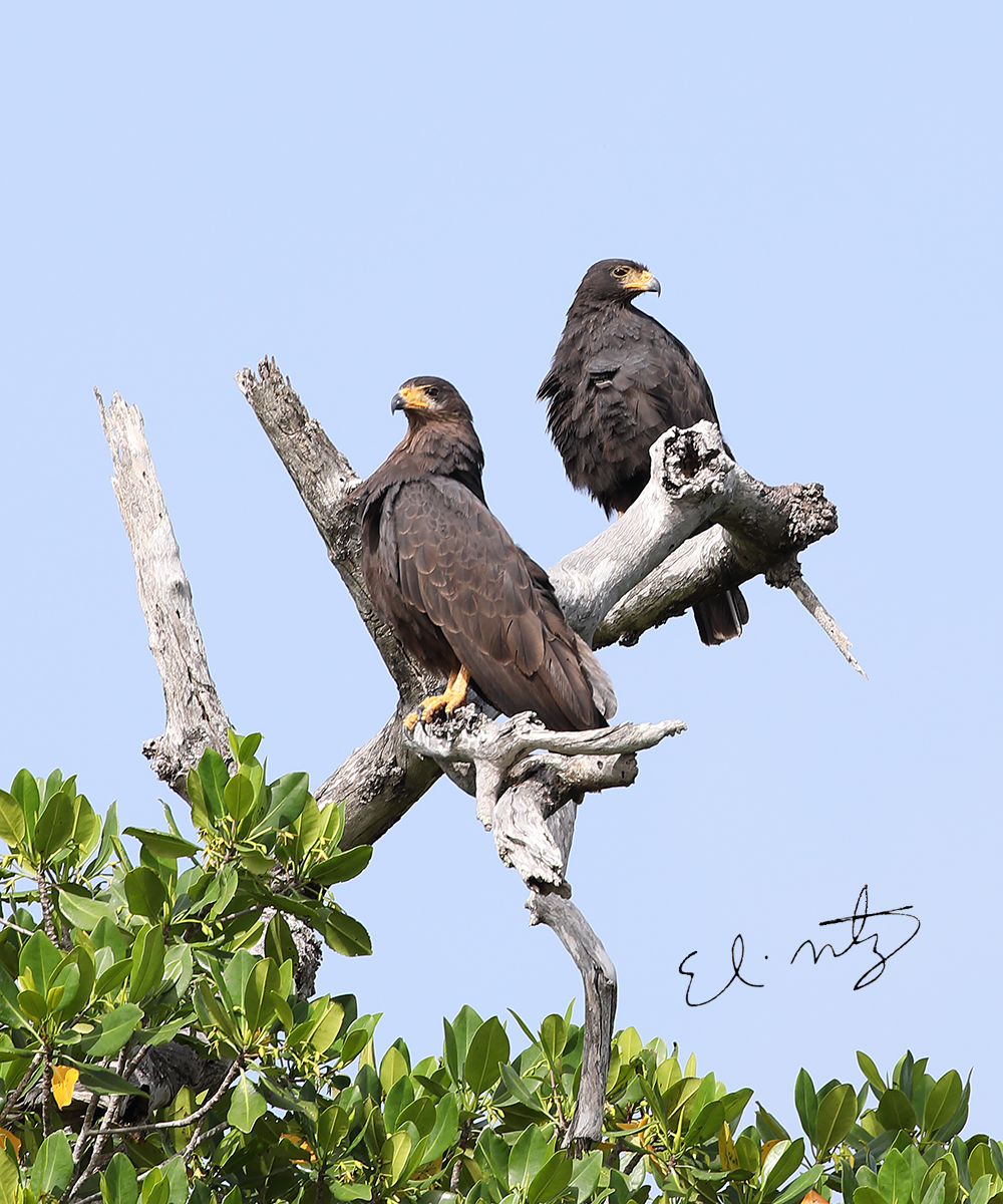 Common Black Hawk.