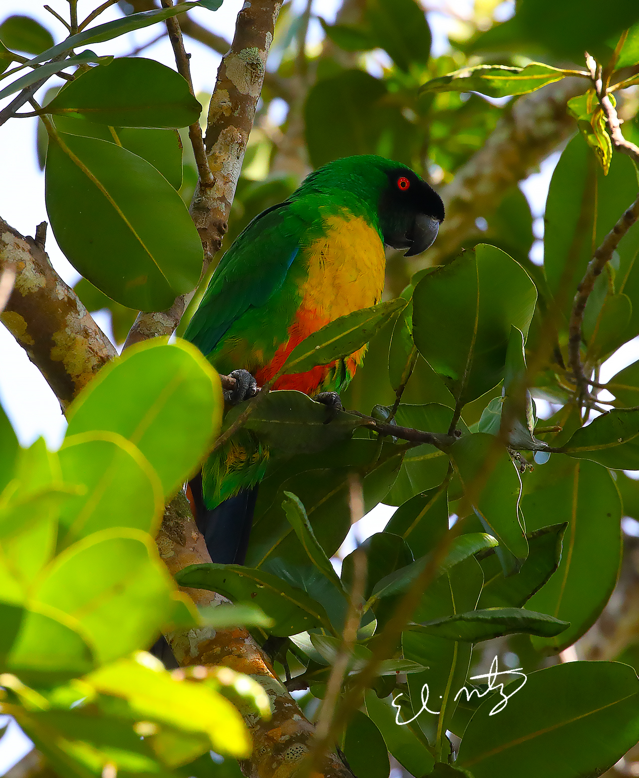 Masked-Shining Parrot