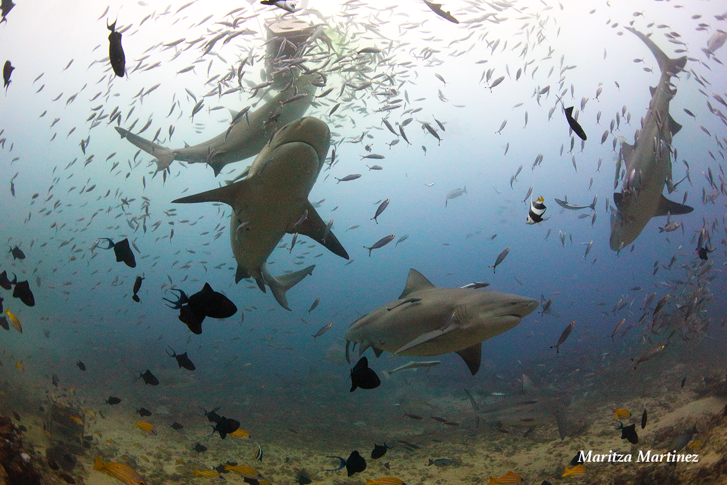 We had over 30 bull sharks on our dive.