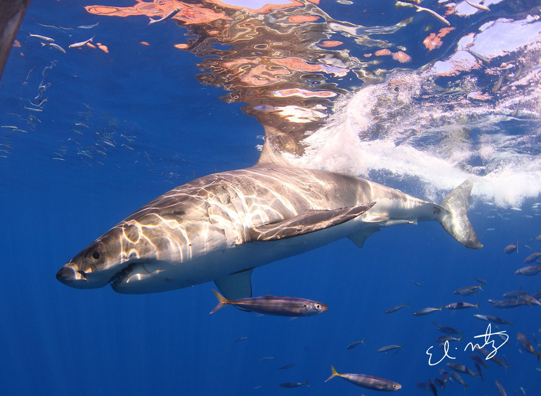 white shark 1.jpg