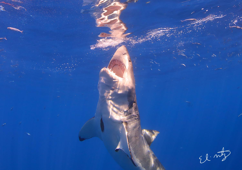 white shark 5.jpg