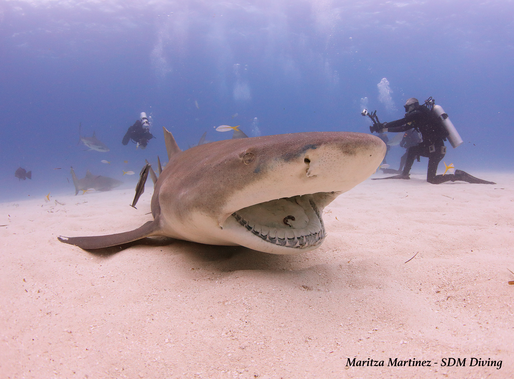 lemon shark.jpg