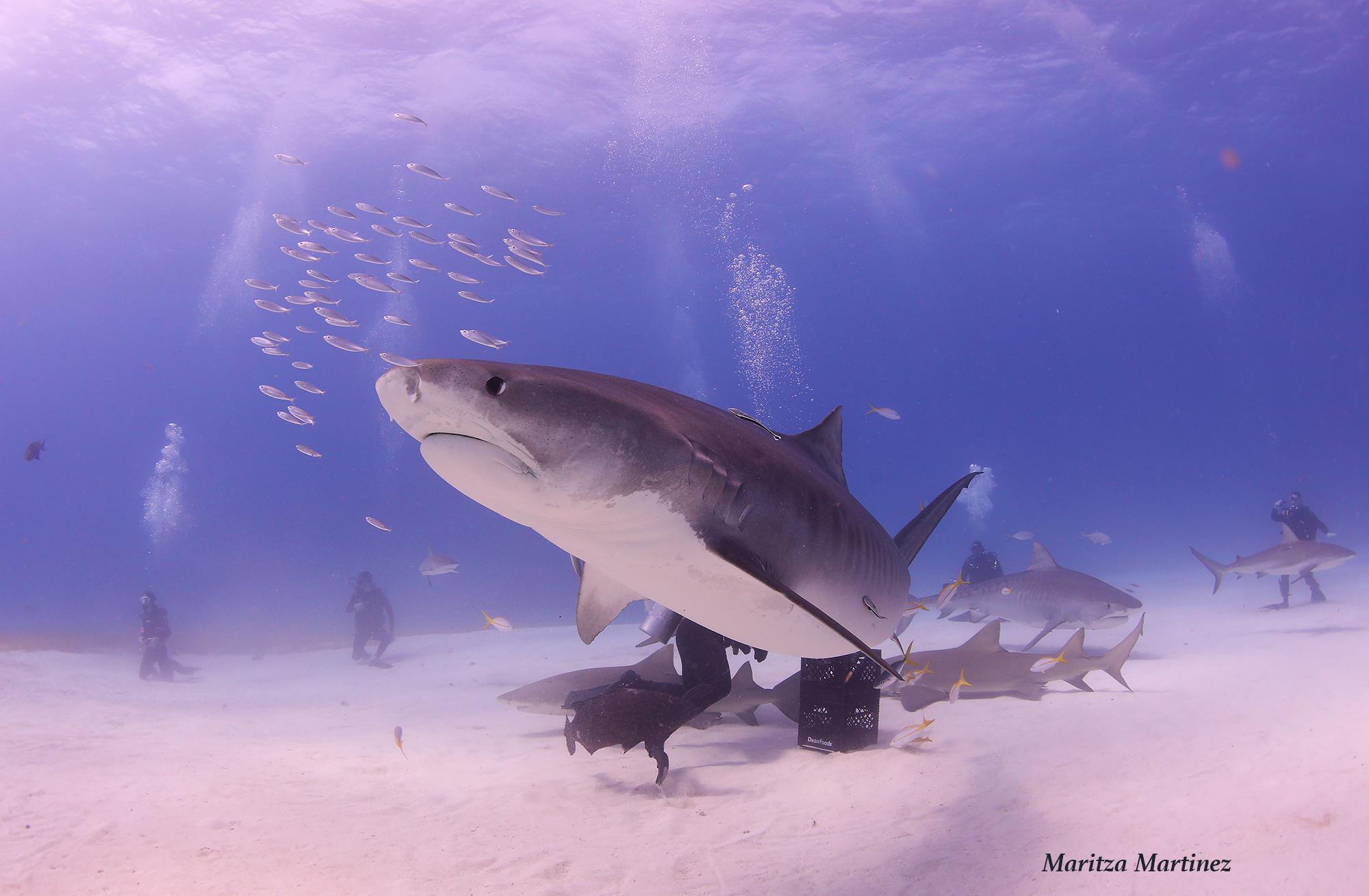 tiger shark Zena.jpg