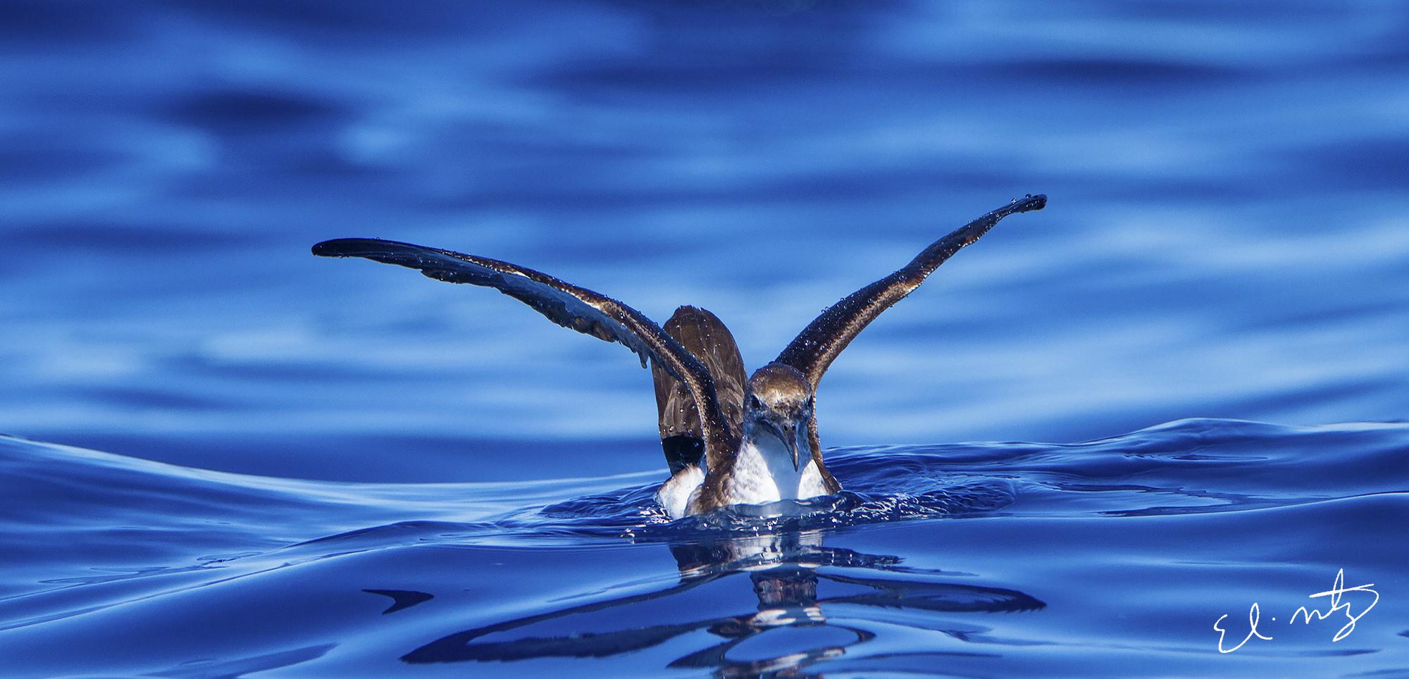 black-vented shearwater 2.jpg