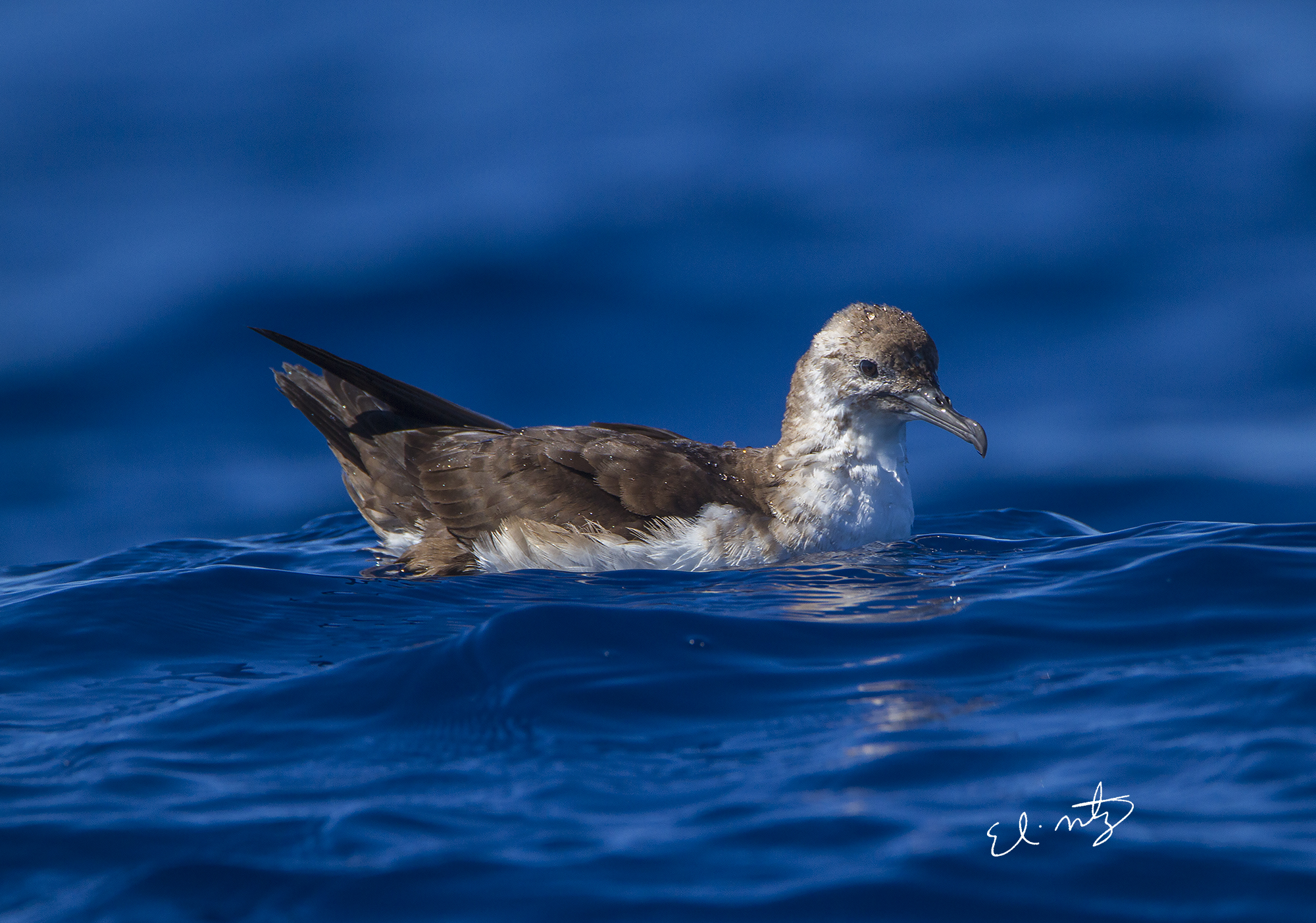 black-vented shearwater.jpg