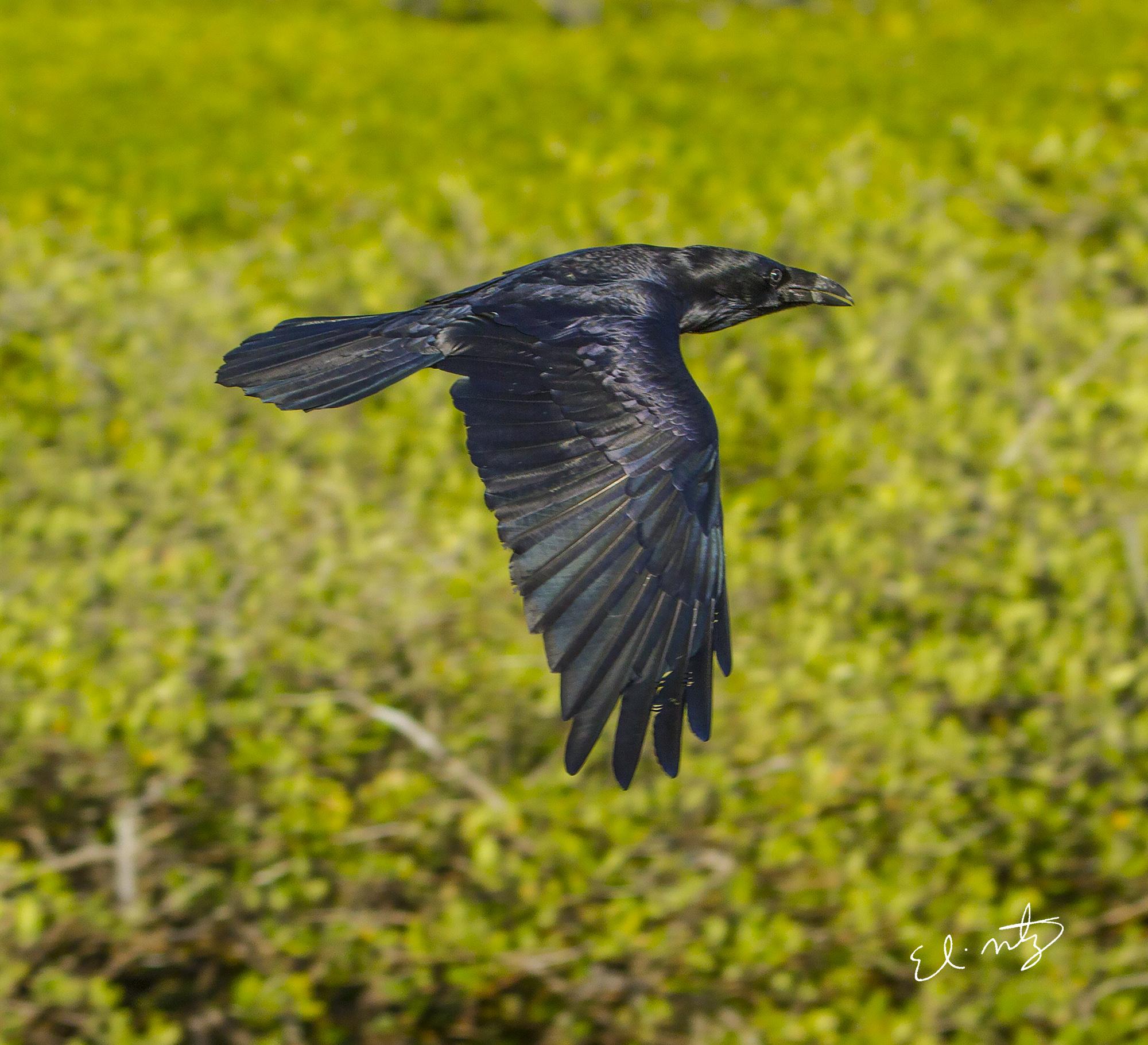 sinaloa crow.jpg