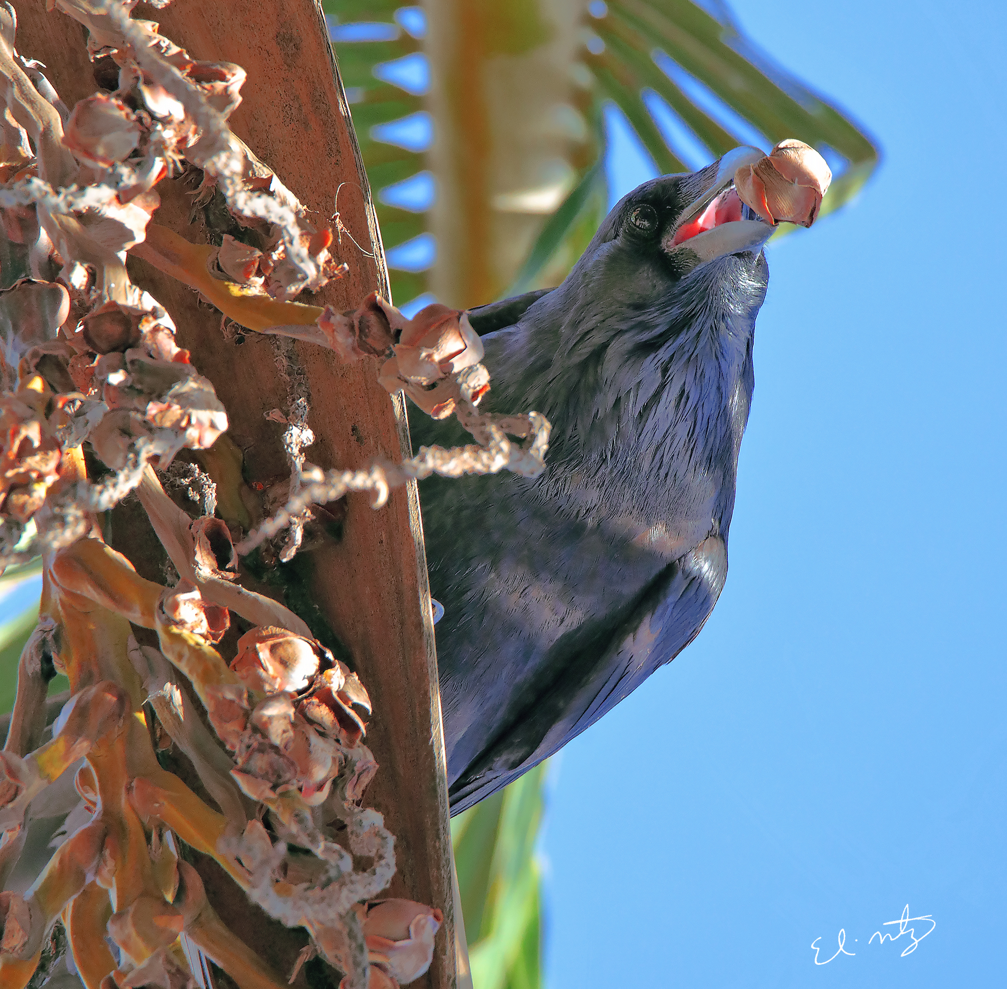 common crow.jpg