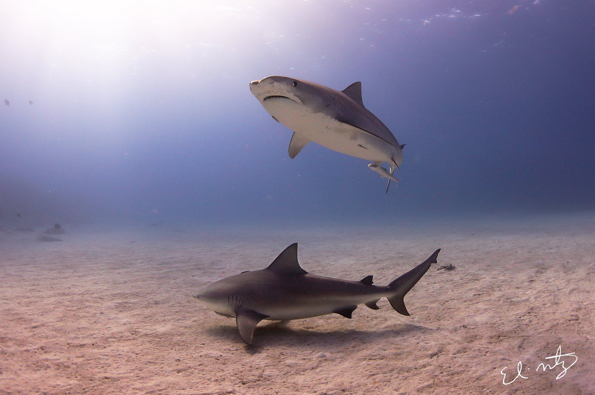 Jitterbug and a bull shark