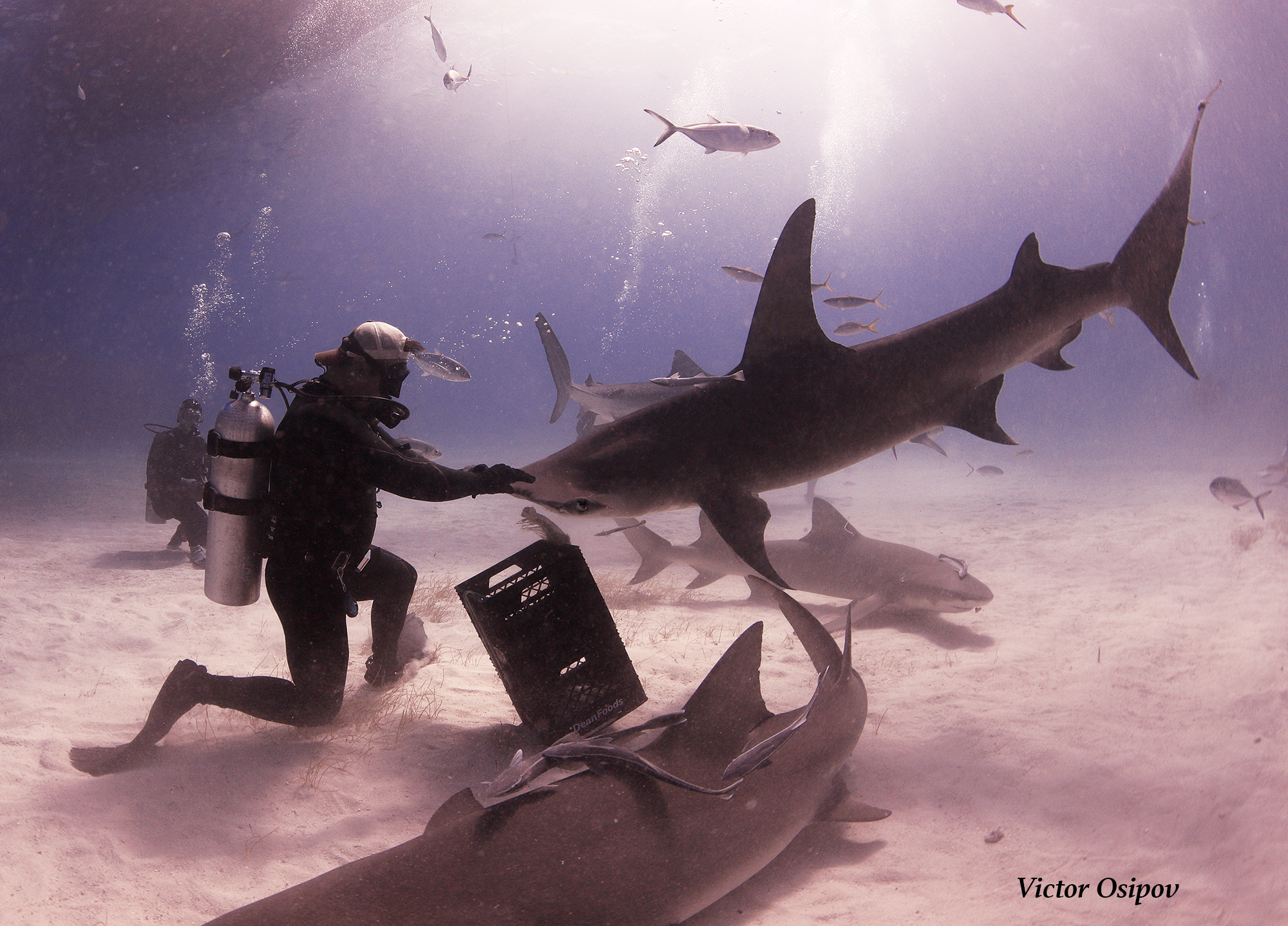Patches the Great Hammerhead. Image by Victor Osipov