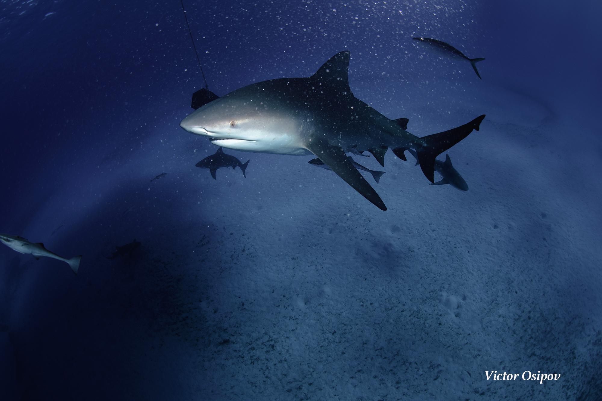 bull shark.jpg