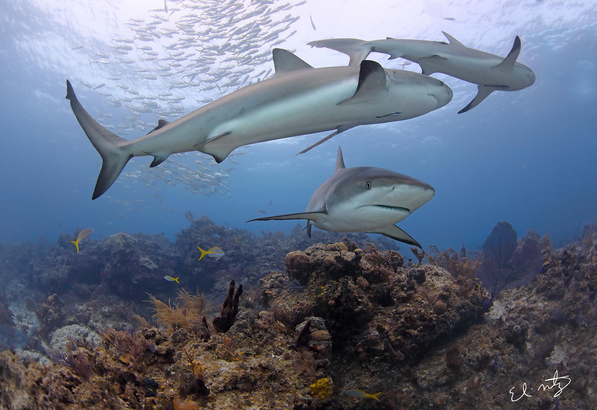 reef shark 3.jpg