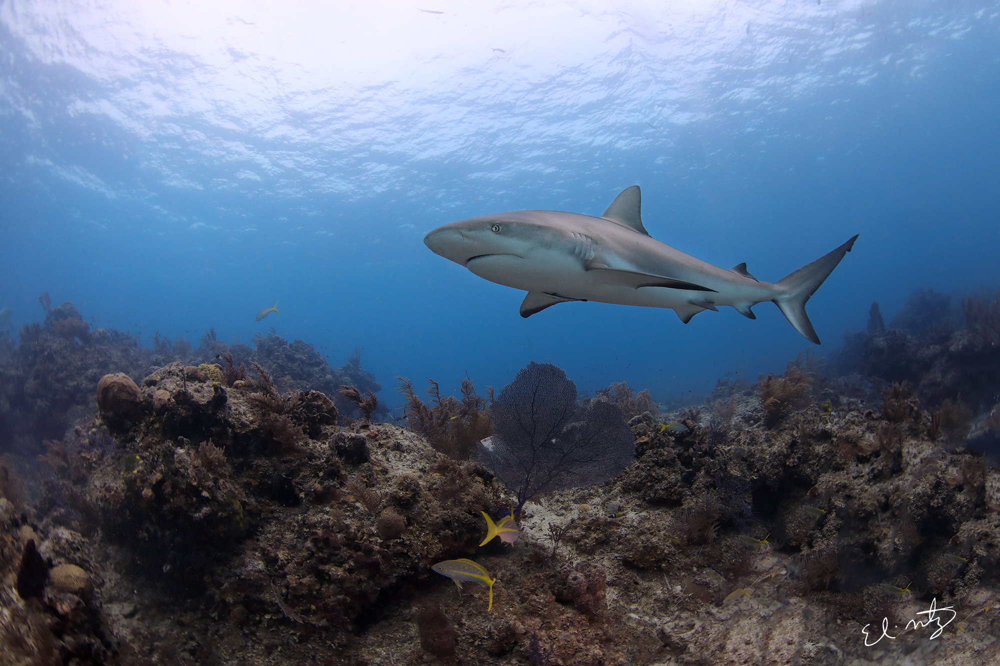 reef shark 4.jpg