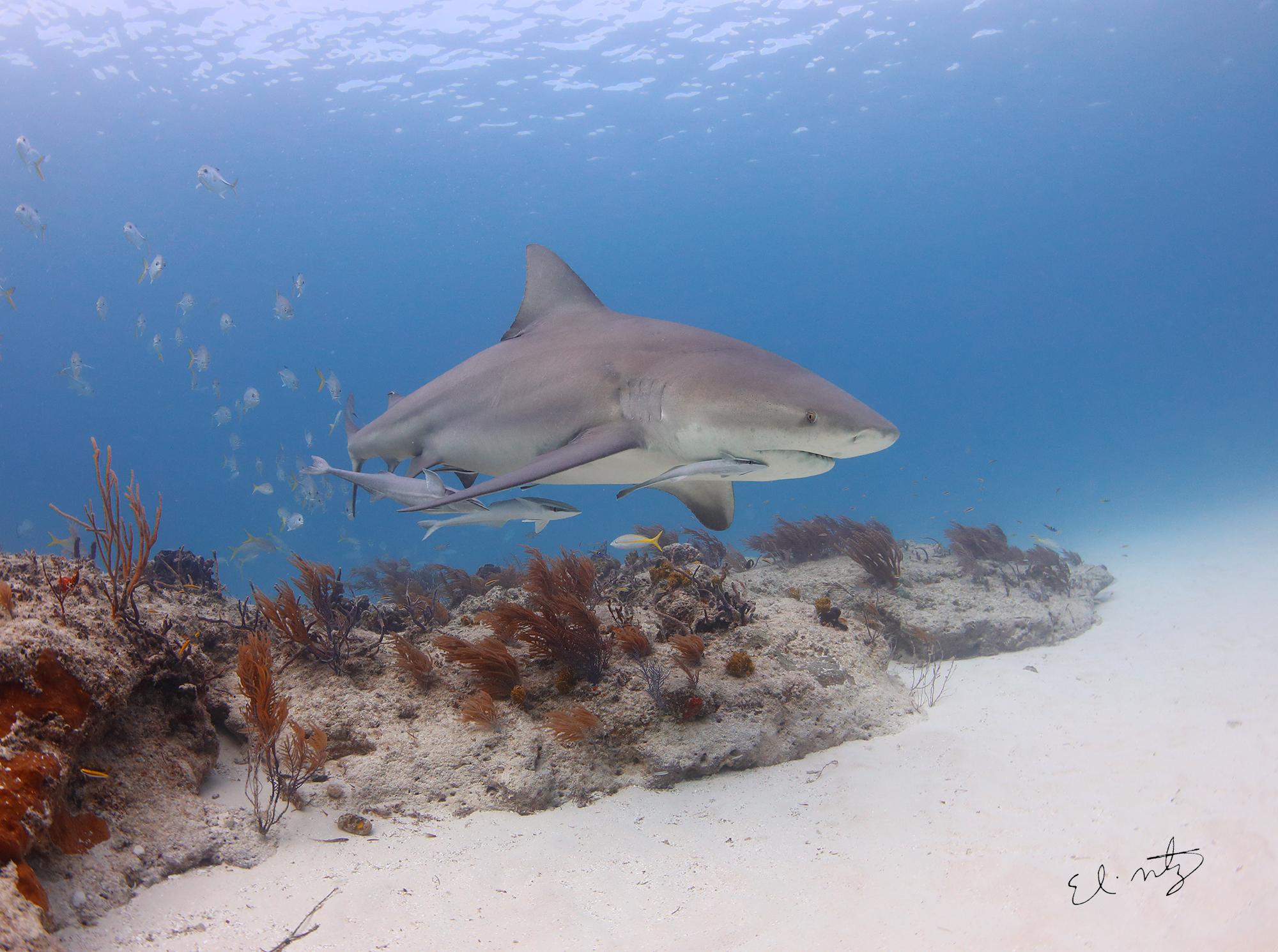 bull shark 2.jpg
