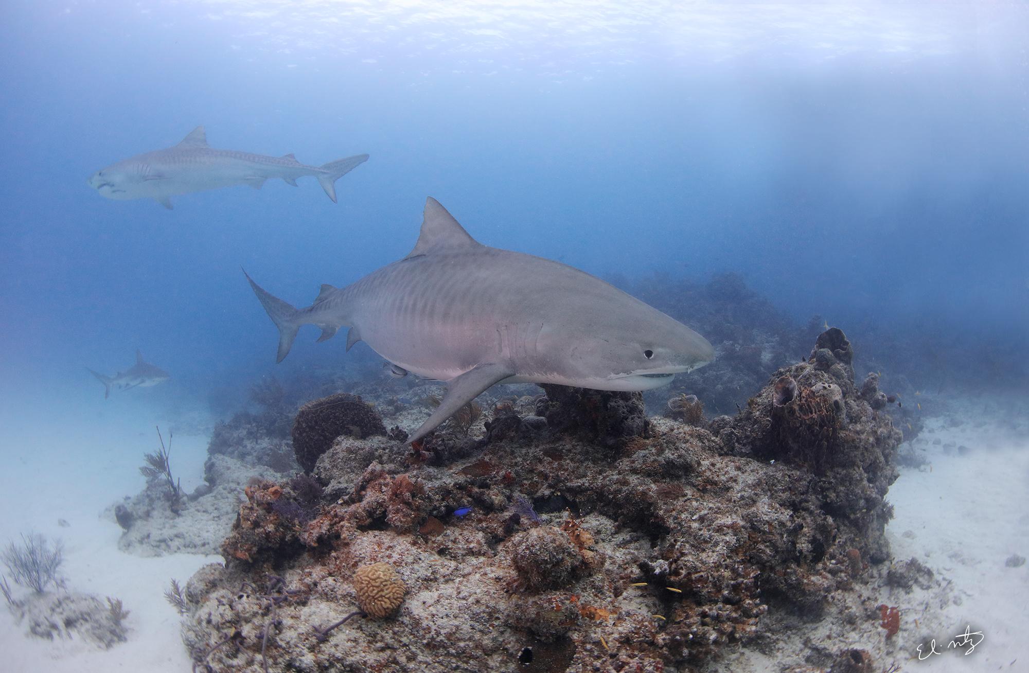 tiger reef 5.jpg
