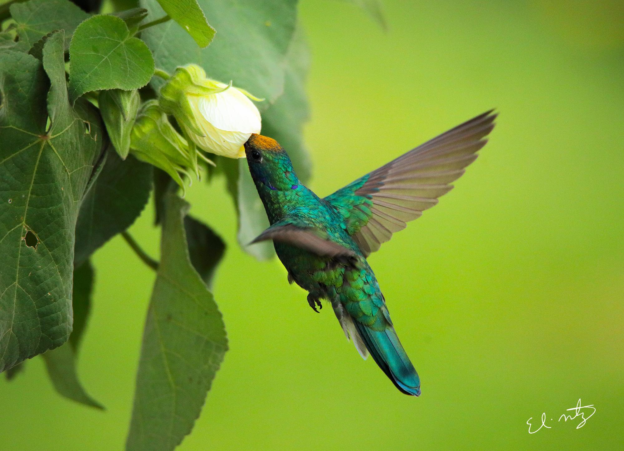 Sparkling Violetear hummingbird.jpg
