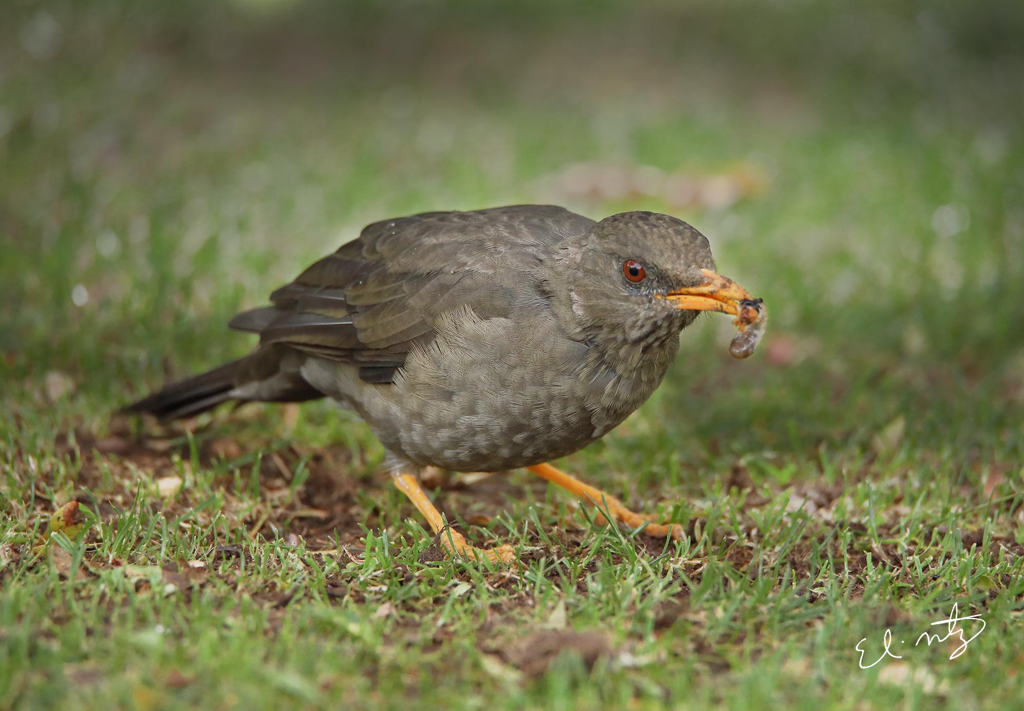 brown bird.jpg